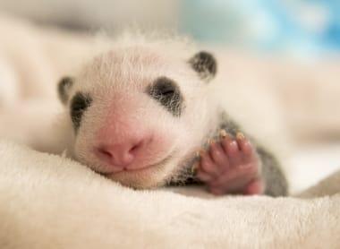 366f87-bebe-panda-ap9i8636