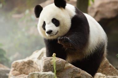 pandas-zooparc-de-beauval-01