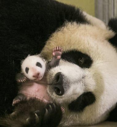 4c5c4f-bebe-panda-ap9i8939