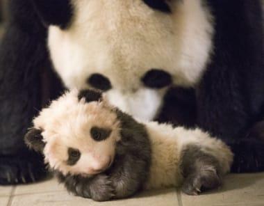 8f84aa-bebe-panda-ap9i1833